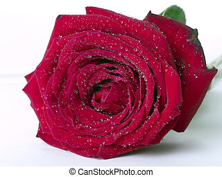 Red Rose with water drops on white