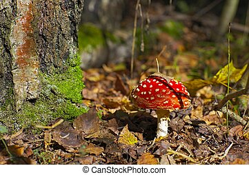 fly-agaric in a forest - Fly-agaric in a autumn forest