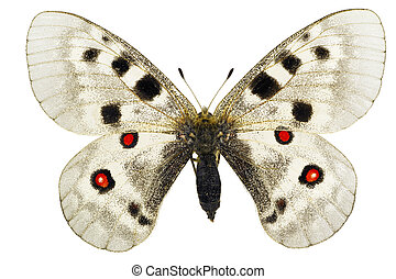 Parnassius apollo - Apollo or Mountain Apollo (Parnassius...