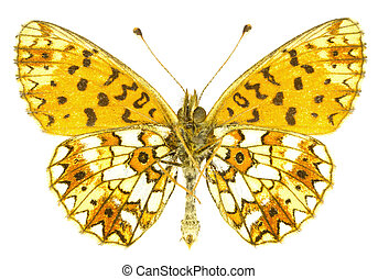 Boloria selene - The Small Pearl-bordered Fritillary...
