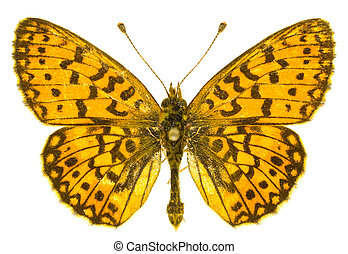 Boloria selene - The Small Pearl-bordered Fritillary Boloria...