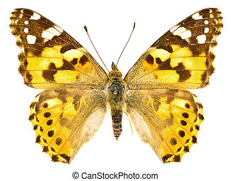 Vanessa cardui - The Painted Lady (Vanessa cardui) isolated...