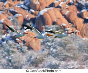 White Pelican Threesome Flying - A group of 3 Pelicans...