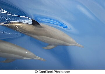 dolphins - Two dolphins are swimming near a ship