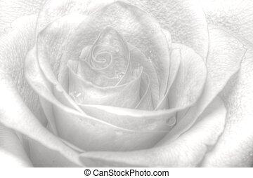 high key rose - nice high key rose