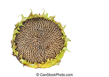 Isolated Dead Sunflower - A dead sunflower head isolated on...