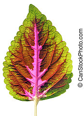 Isolated colorful coleus leaf with multiple hues