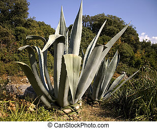 Agave - Photo of a agave succulent plant