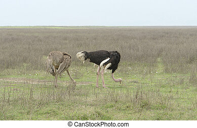 two Ostriches in natural ambiance - outdoor shot showing a...