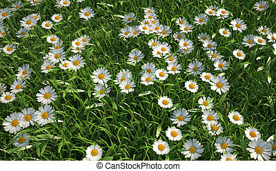 Bird eye view of a grass meadow, plenty of daisy flowers. -...