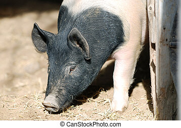 Hampshire Pig - Pig digging around in the dirt with his...