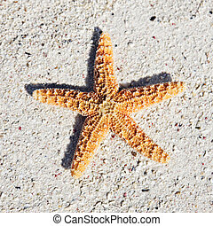 seastar - orange seastar on sand on a caribbean beach