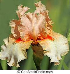 orange  bearded iris, Giardino dell' Iris in Florence, Italy