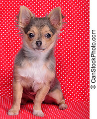 Chihuahua puppy sitting against red and white polka-dot background