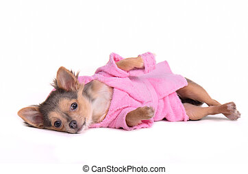 Chihuahua puppy after the bath wearing bathrobe and...