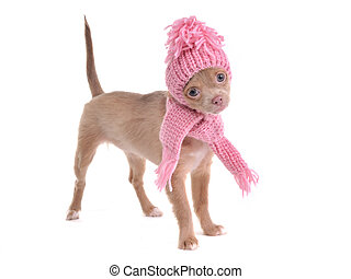 Standing chihuahua puppy wearing hat and scarf standing