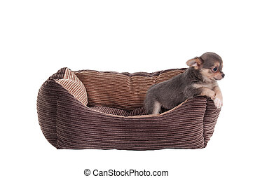 Chihuahua puppy in a pet cot - Chihuahua puppy playing in a...