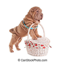 Sharpei puppy standing on picnic basket - Sharpei puppy is...