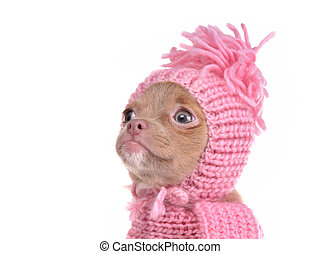 Portrait of chihuahua puppy wearing pink hat - Cute...