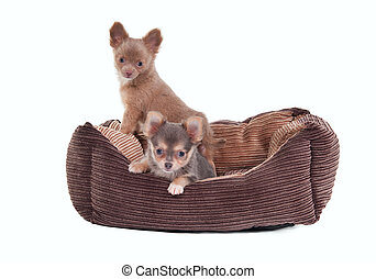 Chihuahua puppies in a cot - Two Chihuahua Puppies sitting...