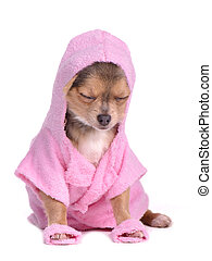 Relaxed chihuahua puppy after the bath dressed with pink...