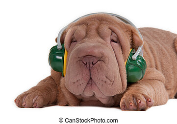 Sharpei puppy is listening to music with headphones -...