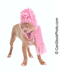 Funny chihuahua puppy with hat and scarf yawning out loudly,...
