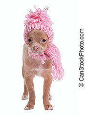 Chihhuahua puppy dressed with scarf and hat - Chihhuahua...