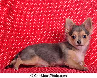 Adorable chihuahua puppy lying against red and white polka-dot background