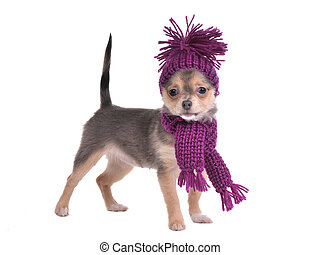 Standing chihuahua puppy wearing hat and scarf
