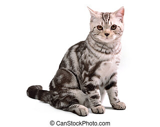 Scottish fold kitten sitting isolated