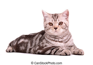Scottish fold kitten lying isolated