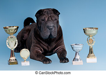 Big Sharpei Dog with awards looking at camera - Big Sharpei...