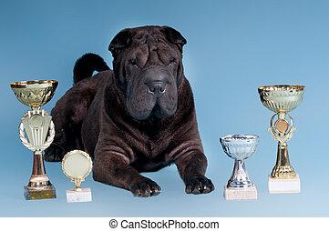 Cielna, Sharpei, pies, nagrody, patrząc, Aparat...