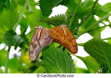 Julia Butterflies Mating - Two Julia butterflies mating.