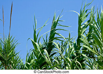 Cane thicket on the blue sky