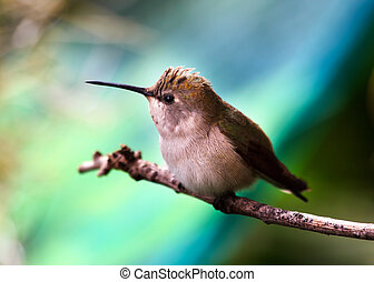 Anna Hummingbird Female Calpyte Anna Feathers Beak Close Up...