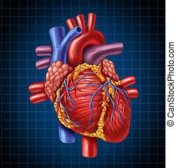 humano, corazón, anatomía