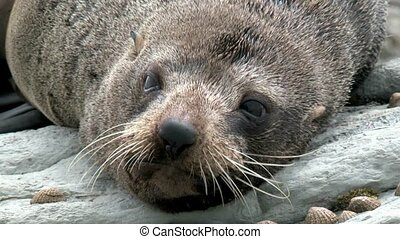New Zealand Fur Seal - New Zealand fur Seal close up on...