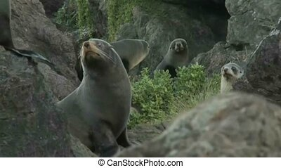 NZ Fur seal 2376 - A group of young New Zealand fur seals on...