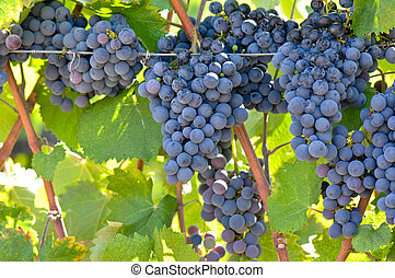 Red Wine Grapes on the Vine - Red wine Grapes on the Vine