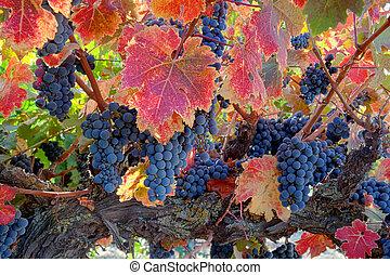 rojo, vino, uvas, vid