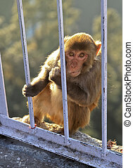 Macaca Radianta Monkey at Vaishno Devi India - Portrait of...