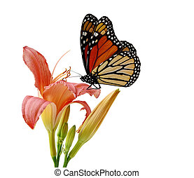 Daylily Butterfly - Day Lily and monarch butterfly isolated...