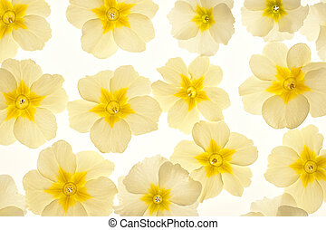 primrose - Studio Shot of Yellow Colored Primrose Flowers...