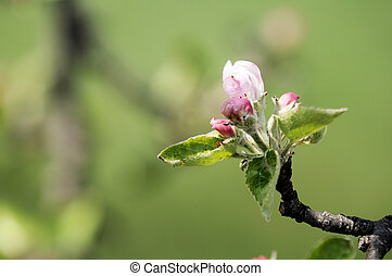 Spring blossom: branch of a blossoming apple tree on garden...