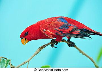 Jerusalem Biblical Zoo - Eclectus roratus parrots in...