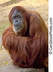 Orangutan - A cute adult Orangutan