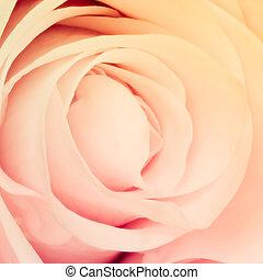 multicolor rose - close up of beautiful multicolor rose