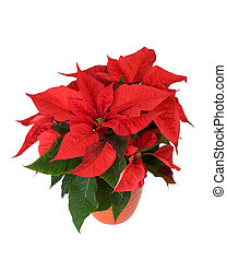 Beautiful red poinsettia isolated on white.